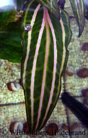 Aderung an Cryptocoryne Rosanervis