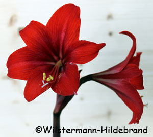Hippeastrum Red Fire
