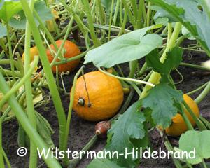 Engelshaarkonfitüre,Cucurbita ficifolia Melone KÜRBIS weißer FEIGENBLATTKÜRBIS