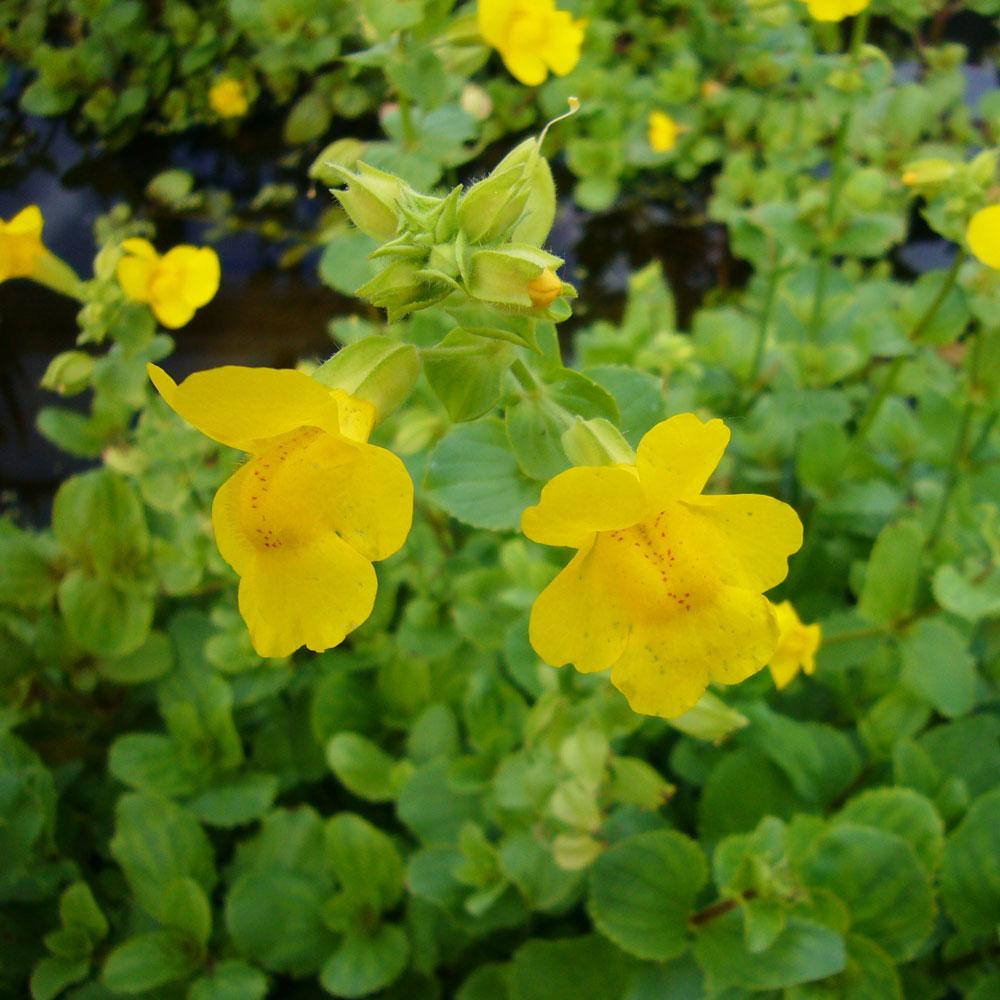 Teichpflanze Teichpflanze Teich Gauklerblume gelb Mimulus luteus
